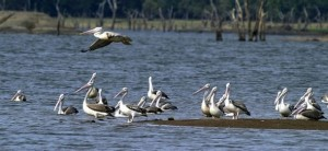 A flock of pelicans rests at Kandalama Lake in Dambulla.